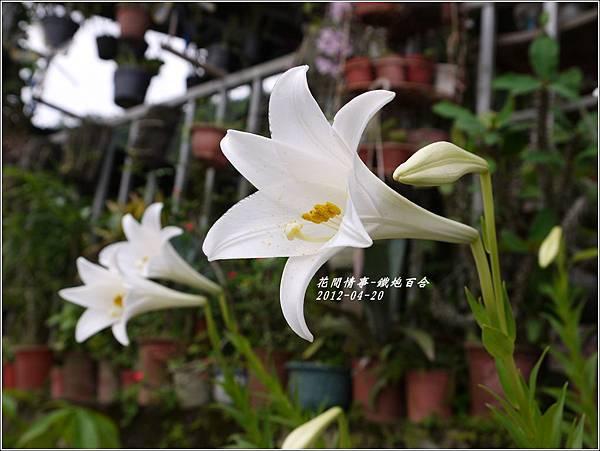 2012-04-鐵炮百合1