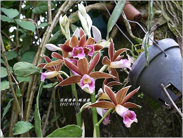 2012-04-鶴頂蘭1