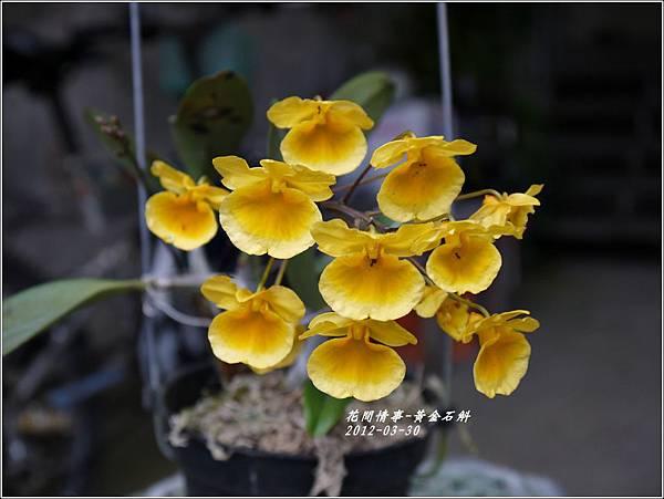 2012-04-黃金石斛1