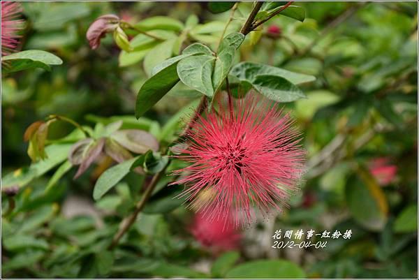 2012-05-紅粉撲1