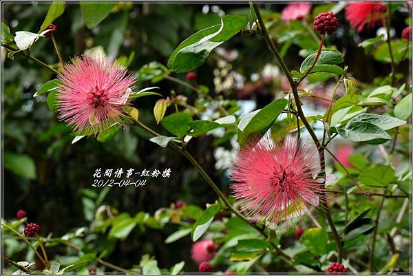 2012-05-紅粉撲4