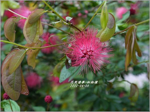 2012-05-紅粉撲7