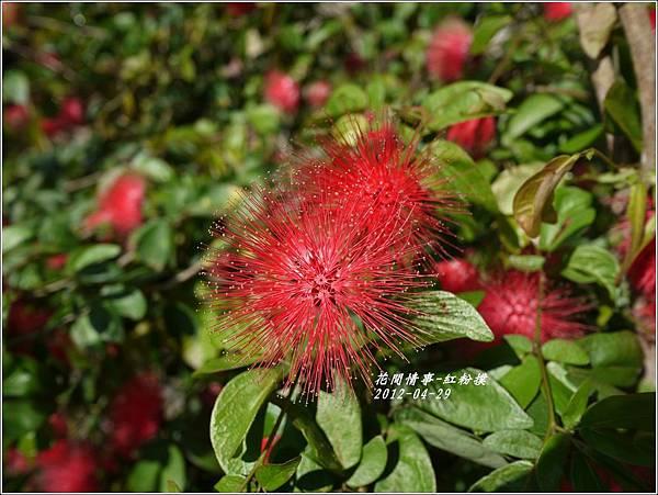 2012-05-紅粉撲12
