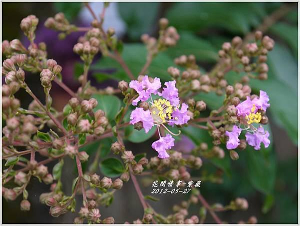 2012-06-紫薇3
