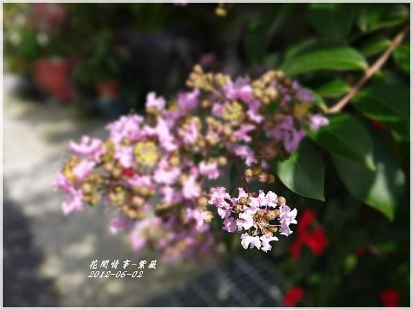 2012-06-紫薇4
