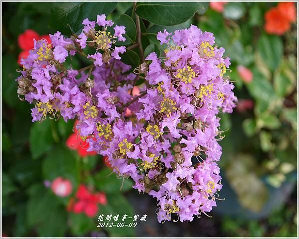 2012-06-紫薇7