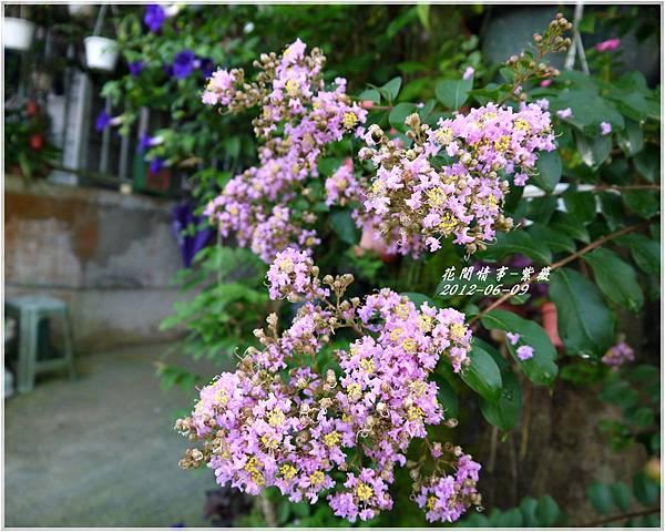 2012-06-紫薇8