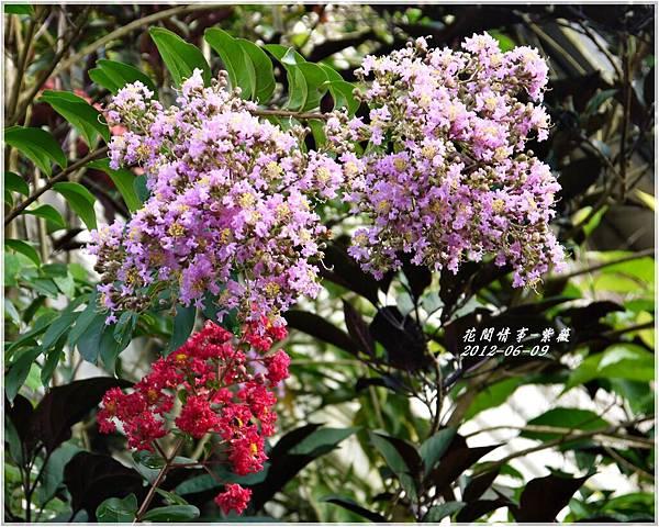 2012-06-紫薇9