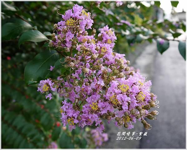 2012-06-紫薇11