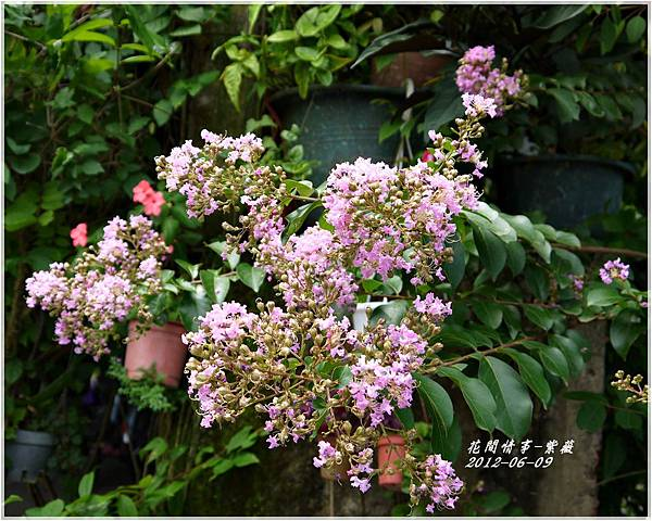 2012-06-紫薇16