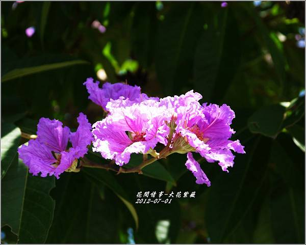 2012-07-大花紫薇3
