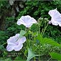 2012-07-樹牽牛3