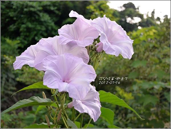 2012-07-樹牽牛6