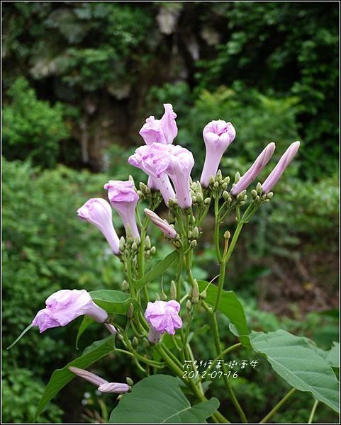 2012-07-樹牽牛14