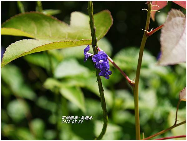 2012-08-長穗木3