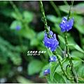 2012-08-長穗木8
