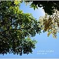 2012-09-初秋欒樹1