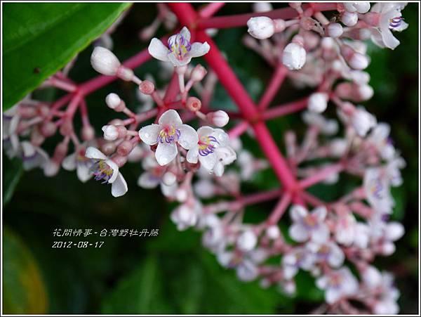2012-08-台灣野牡丹藤1