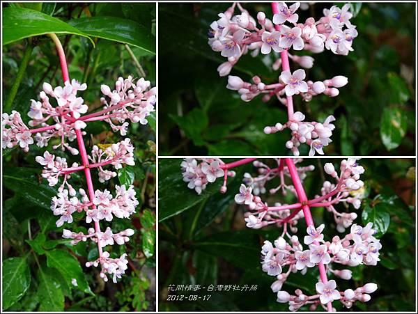 2012-08-台灣野牡丹藤2