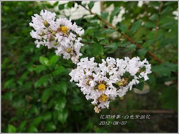 2012-08-白色紫薇花1