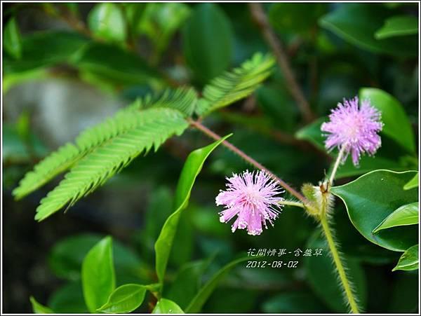 2012-08-含羞草1