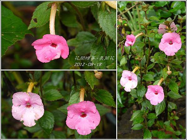 2012-08-長筒花1