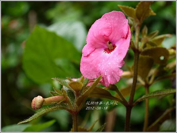 2012-08-長筒花2