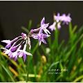 2012-08-紫嬌花1