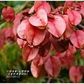 2012-09-台灣欒樹3
