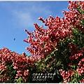 2012-09-台灣欒樹9