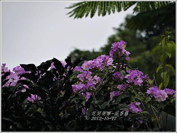 2012-11-蒜香藤7