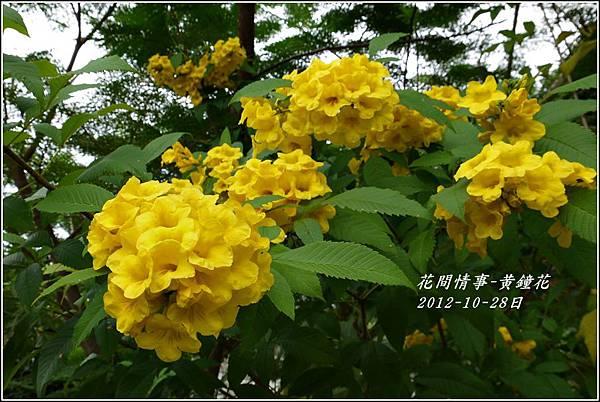 2012-10-黃鐘花4