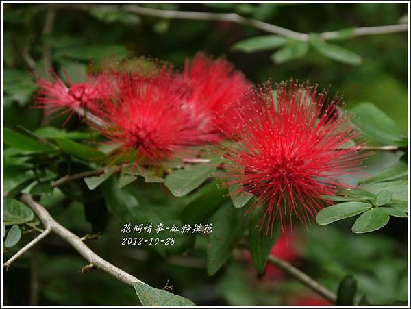 2012-11-紅粉撲花2