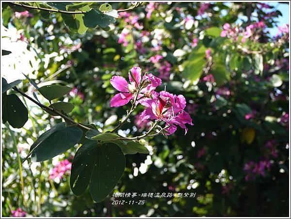 2012-11-艷紫荊22