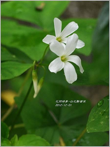 2012-12-白花酢醬草10