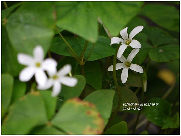 2012-12-白花酢醬草1