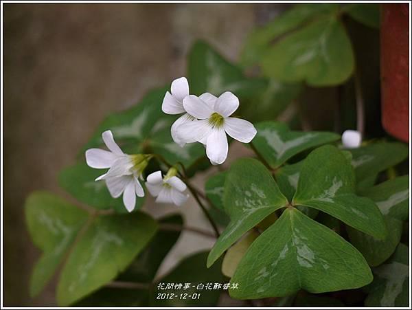 2012-12-白花酢醬草2