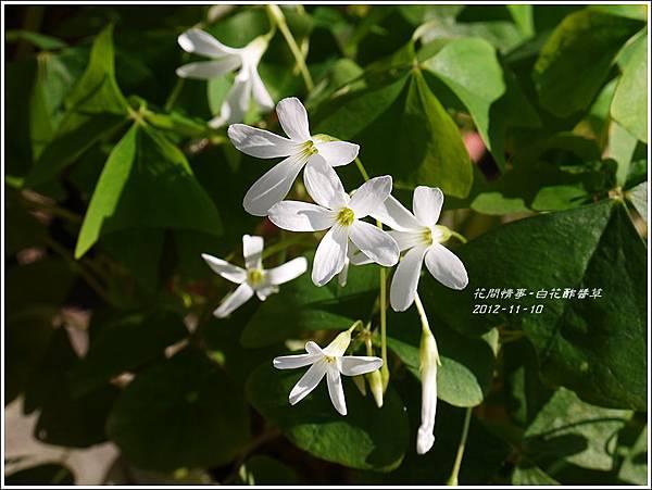 2012-12-白花酢醬草5
