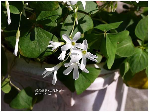 2012-12-白花酢醬草4