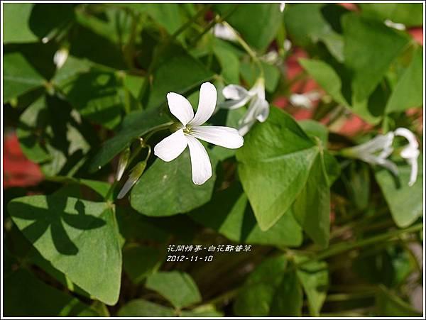 2012-12-白花酢醬草7