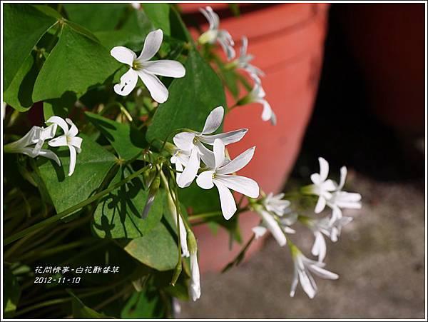 2012-12-白花酢醬草6