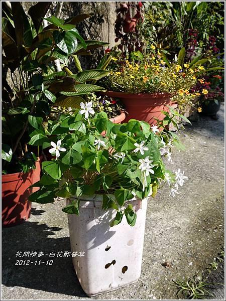 2012-12-白花酢醬草9