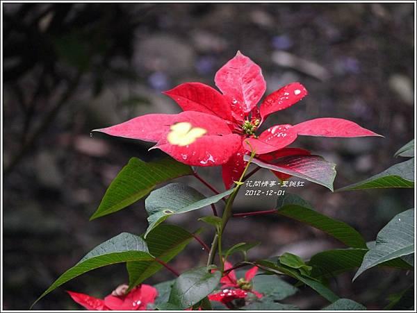 2012-12-聖誕紅6