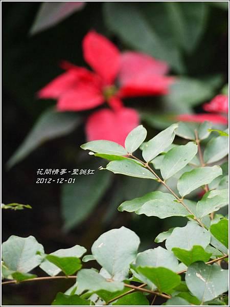2012-12-聖誕紅9
