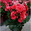 2013-01-鬱金香花園9