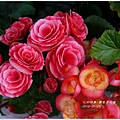 2013-01-鬱金香花園24