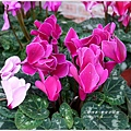2013-01-鬱金香花園23