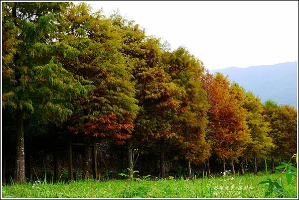 2012-12-落羽松之美26
