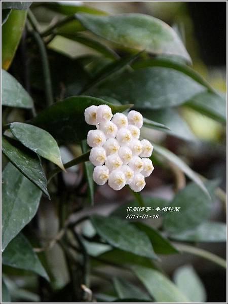 2013-01-毛帽毬蘭2