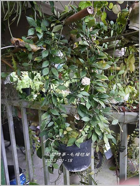 2013-01-毛帽毬蘭1